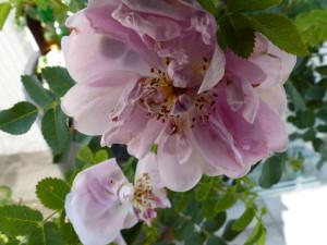 Rose-des-Monats-Mai-2015-Mon-mie-Claire