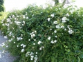Rumaenische Rosenfreunde im Rosengarten ulm 008
