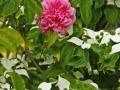 Rose des Monats März 2015 03_Mit Blumenhartriegel