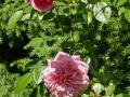 Rose des Monats März 2015 04_Paul Noel