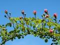 Rose des Monats März 2015 05_Paul Noel
