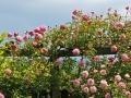 Rose des Monats März 2015 06_Vor dem Gewitter