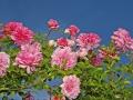 Rose des Monats März 2015 07_von Hitze gekennzeichnet
