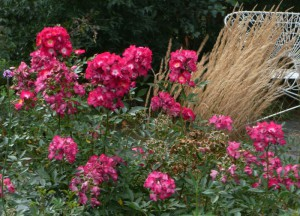 Rose des Monats Juli 2012 - Grand-Duc Jean de Luxembourg