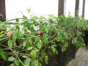 Rose des Monats Januar 2011 - Ayrshire Splendens - Hagebutten 01