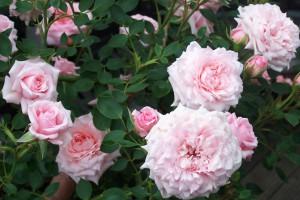 Rosen-des-Monats-März-2015-Dorothea-Endres