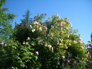 Rose des Monats April 2011 Ghislaine de Feligonde 02 Orginal