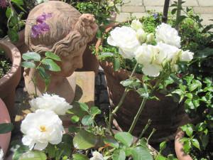 Rose des Monats April 2012 Petticoat Rose