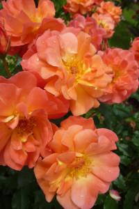 Rose-des-Monats--Dezember-2012-Freudenfeuer-Blüten