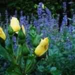 Rose des Monats Juli 2011 Spezial Goldspatz 02