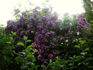 Rose des Monats Juni 2011 Veilchenblau lila Wand
