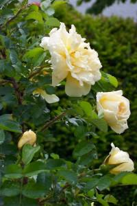 Rose des Monats Mai 2012 Agnes 1