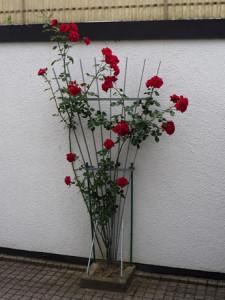 Rose des Monats November 2012 Rose mit unbekanntem Namen
