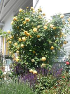 Rose des Monats Oktober 2011 Golden Celebration