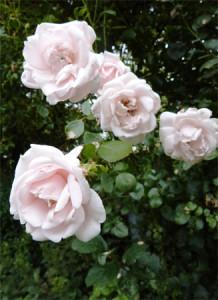 Rose des Monats Oktober 2012 - New Dawn Blüten