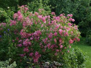 Rose des Montags August 2011 Mozart Rosenbusch