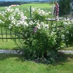 Rose des Juni 2013 Venusta Pendula 01