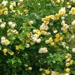 Rose des Monats April 2014 - Der Goldspatz