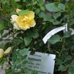 Rose des Monats April 2014 - Goldspatz - Täufling
