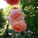 Rose des Monats August 2014 - Jubilee Celebration 05