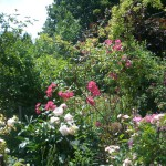 Rose des Monats Februar 2014 - Rose-Roville-01