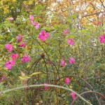 Rose des Monats Februar 2014 - Rose-Roville-02
