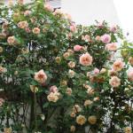 Rose des Monats Januar 2014 - Rose Glorie de Dijon Blüten