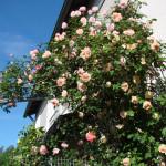 Rose des Monats Januar 2014 - Rose Glorie de Dijon am Haus