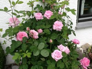 Rose des Monats Juli 2013 - Rose-mrs-John-Laing