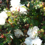 Rose des Monats Juli 2014 - Paula Vapelle