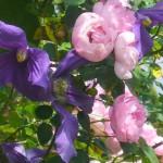Rose des Monats Juni 2014 - Kletterrose Raubritter Blüte