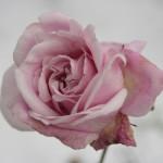Rose des Monats März 2014 - Rose Heilige Elisabeth