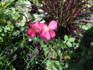 Rose des Monats März 2011 - Rose of Picardy - Blüte