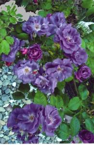 Rose des Monats Mai 2013 Rhapsody in Blue