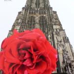 Rose des Monats Mai 2014 -Ulmer-Muenster-Rose
