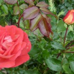 Rose des Monats November 2013 - Gebrüder Grimm