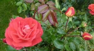 Rosenblüten für das Dekorieren