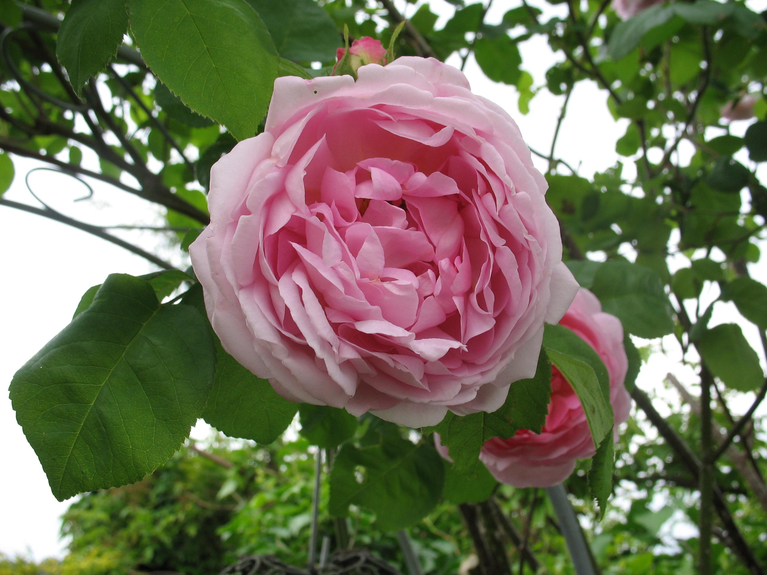 Blüte von Constance Spray