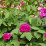 Rose des Monats Oktober 2013 - Rose de Resht