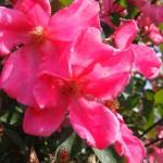 Rose des Monats September 2013 -Mutabilis 3