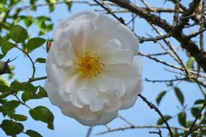 Rose des Monats Februar 2015 - Auguste Gervais Blüte Frucht