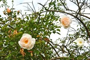 Rosen des Monats Februar 2015 - Auguste Gervais  Herbstbluete