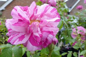 Historische, Rosa Mundi Versicolor eine Gallica Rose