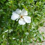"""Die Rose """"Sternenflor"""" ist auch für Blumenkästen geeignet"""